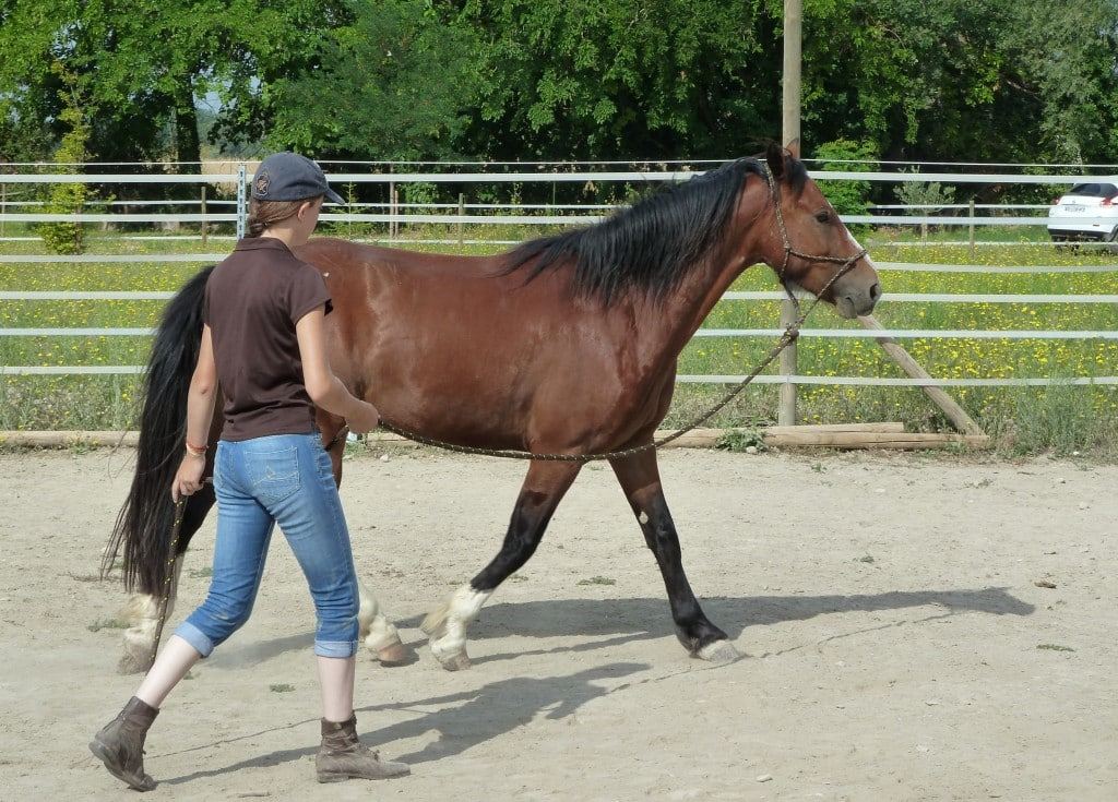 Restez à la hauteur de la hanche, pas trop loin du cheval, longe détendue
