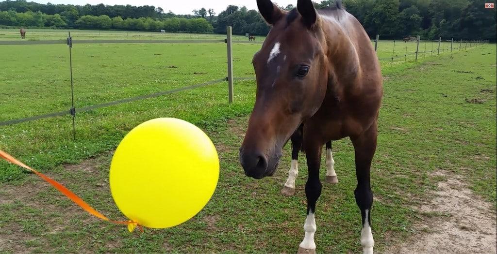 Ici on voit que l'attention du cheval est portée sur le ballon