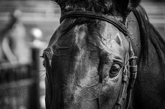Avec l'effort, les veines apparaissent sur tout le corps du cheval
