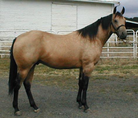 Magnifique Quarter Horse à l'arrière main bien développée !